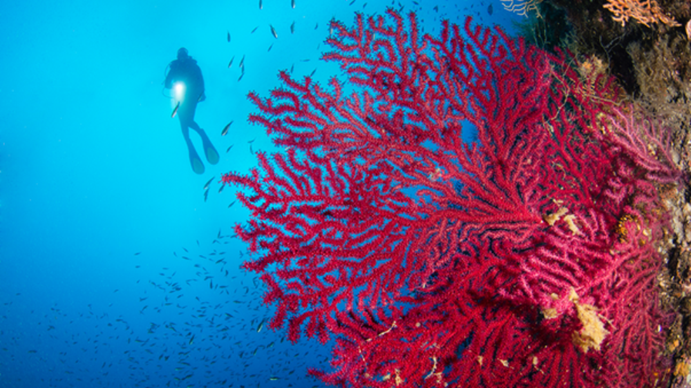 A diver swims past a coral reef.